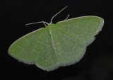 Southern Emerald Moth (7059)