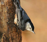 White Breasted Nuthatch VIDEO