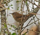 House Wren (Brown-throated) Population