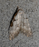 Three-spotted Nola Moth (8992)
