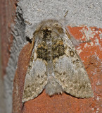 Yellowhorn Moth (9184)
