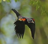 Blackbirds, Grackles, Crows, Ravens, Meadowlarks and Starlings