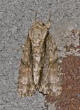 Connected Daggar Moth (9219)