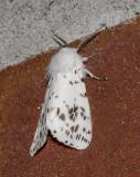 Fall Webworm Moth (8140)