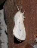Agreeable Tiger Moth (8134)