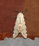 Salt Marsh Moth (8131)