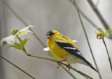 American Goldfinch (Spring Male)