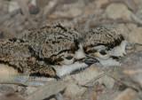 Killdeer Hatchlings