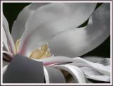 April 12 - Magnolia