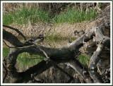 April 19 - Woodducks and Turtles