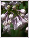 April 24 - Rainy Day Lilacs