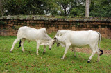 Cambodia. White cows near Angkor Wat