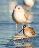shore_birds
