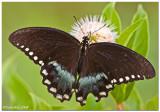Black Swallowtail August 2