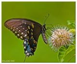 Spicebush Swallowtail August 12