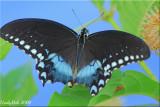 Black Swallowtail July 29