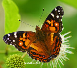 Painted Lady Butterfly June 9