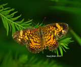 Pearl Crescent Butterfly June 11