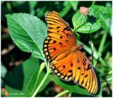 Buttefly October 22 *