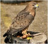 Broad-Winged Hawk October 25 *