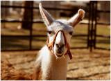 Llama October 30 *
