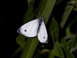 Large White  Pieris brassicae.jpg