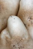 Yang mushrooms