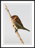 Scaly Breasted Munia.jpg