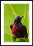 Purple-throated Sunbird.jpg