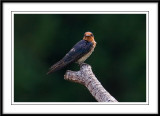Pacific swallow 1.jpg