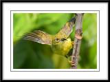 Female brown-throated sunbird.jpg