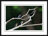 Pacific swallow 3.jpg