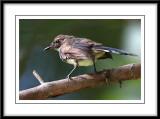 Pied Fantail (juvenile).jpg