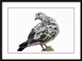 Rock Pigeon.jpg