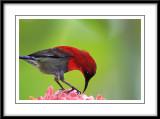 Crimson Sunbird 2.jpg