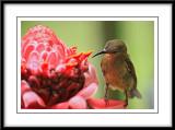 Crimson Sunbird 3 (juvenile).jpg