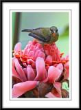 Crimson Sunbird 4 (juvenile).jpg