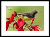 Male brown throated sunbird 2.jpg