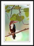 White throated kingfisher 3.jpg