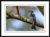 Drongo Cuckoo 1.jpg