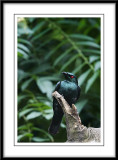 Asian glossy starling 4.jpg