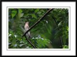 Blue-and-white Flycatcher (female).jpg