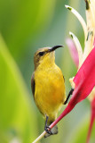 Female Olive back Sunbird 5.jpg