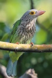 Lineated barbet close up.jpg