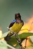Brown Throated Sunbird 2.jpg