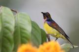 Brown Throated Sunbird 3.jpg