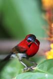 Crimson Sunbird 3.jpg