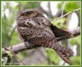 Oiseaux rares au Québec