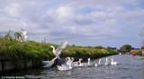 white geese 1