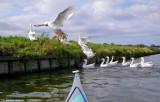 white geese 2